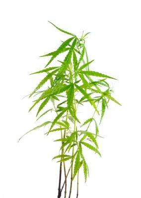Medical Marijuana (Weed)